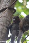 Male mongoose lemur (Eulemur mongoz) [madagascar_ankarafantsika_0048]
