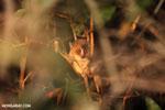 Golden Brown Mouse Lemur (Microcebus ravelobensis) [madagascar_ankarafantsika_0055]