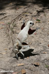 Coquerel's sifaka (Propithecus coquereli) dancing