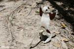Coquerel's sifaka dancing