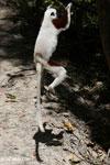 Coquerel's sifaka (Propithecus coquereli) jumping