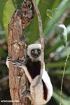 Coquerel's sifaka (Propithecus coquereli) in a tree [madagascar_ankarafantsika_0066]