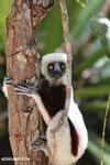 Coquerel's sifaka in a tree [madagascar_ankarafantsika_0067]