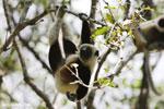 Coquerel's sifaka (Propithecus coquereli) in a tree [madagascar_ankarafantsika_0070]