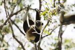 Coquerel's sifaka in a tree [madagascar_ankarafantsika_0071]