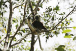 Coquerel's sifaka (Propithecus coquereli) in a tree [madagascar_ankarafantsika_0072]