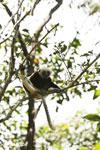 Coquerel's sifaka in a tree [madagascar_ankarafantsika_0073]