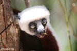 Coquerel's sifaka feeding [madagascar_ankarafantsika_0076]