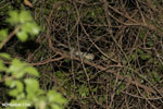 Fat-tailed dwarf lemur (Cheirogaleus medius) [madagascar_ankarafantsika_0085]