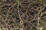 Fat-tailed dwarf lemur (Cheirogaleus medius) [madagascar_ankarafantsika_0086]