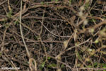 Fat-tailed dwarf lemur (Cheirogaleus medius) [madagascar_ankarafantsika_0089]