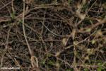 Fat-tailed dwarf lemur (Cheirogaleus medius) [madagascar_ankarafantsika_0090]