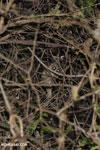 Fat-tailed dwarf lemur (Cheirogaleus medius) [madagascar_ankarafantsika_0092]