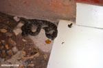 Cat-eyed Snake (Madagascarophis colubrinus)