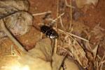 Cockroach [madagascar_ankarafantsika_0111]