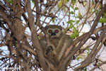 Milne-Edwards' Sportive Lemur (Lepilemur edwardsi) [madagascar_ankarafantsika_0117]