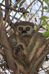 Lepilemur edwardsi sportive lemur [madagascar_ankarafantsika_0119]