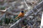Female Malagasy Paradise Flycatcher (Terpsiphone mutata) [madagascar_ankarafantsika_0131]