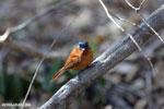 Female Malagasy Paradise Flycatcher (Terpsiphone mutata) [madagascar_ankarafantsika_0132]