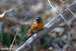 Female Malagasy Paradise Flycatcher (Terpsiphone mutata) [madagascar_ankarafantsika_0133]