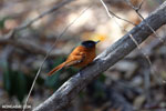 Female Malagasy Paradise Flycatcher (Terpsiphone mutata) [madagascar_ankarafantsika_0134]