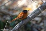 Female Malagasy Paradise Flycatcher (Terpsiphone mutata) [madagascar_ankarafantsika_0135]
