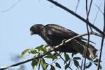 Greater Vasa Parrot (Coracopsis vasa) [madagascar_ankarafantsika_0139]