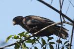 Greater Vasa Parrot (Coracopsis vasa) [madagascar_ankarafantsika_0140]