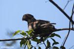 Greater Vasa Parrot (Coracopsis vasa) [madagascar_ankarafantsika_0141]