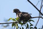 Greater Vasa Parrot (Coracopsis vasa) [madagascar_ankarafantsika_0142]