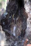 Madagascar Scops Owl (Otus rutilus) [madagascar_ankarafantsika_0146]