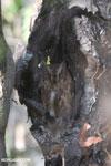 Madagascar Scops Owl (Otus rutilus) [madagascar_ankarafantsika_0147]