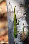 Madagascar giant day gecko (Phelsuma madagascariensis grandis) [madagascar_ankarafantsika_0154]