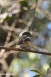 Unidentified bird [madagascar_ankarafantsika_0157]