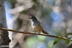 Unidentified bird [madagascar_ankarafantsika_0160]