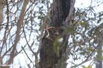Milne-Edwards' Sportive Lemur [madagascar_ankarafantsika_0165]