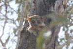Milne-Edwards' Sportive Lemur (Lepilemur edwardsi) [madagascar_ankarafantsika_0167]