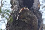 Milne-Edwards' Sportive Lemur (Lepilemur edwardsi) [madagascar_ankarafantsika_0172]