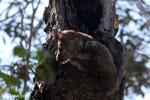Milne-Edwards' Lepilemur (Lepilemur edwardsi) [madagascar_ankarafantsika_0173]