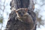 Lepilemur edwardsi sportive lemur [madagascar_ankarafantsika_0174]