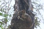 Lepilemur edwardsi sportive lemur [madagascar_ankarafantsika_0179]