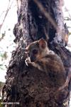 Milne-Edwards' Sportive Lemur [madagascar_ankarafantsika_0180]