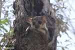 Milne-Edwards' Sportive Lemur [madagascar_ankarafantsika_0185]
