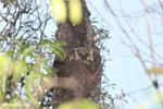 Lepilemur edwardsi sportive lemur [madagascar_ankarafantsika_0188]