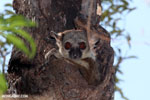 Milne-Edwards' Sportive Lemur [madagascar_ankarafantsika_0189]