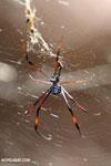 Orb spider [madagascar_ankarafantsika_0192]