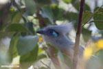 Crested Coua (Coua cristata) [madagascar_ankarafantsika_0202]