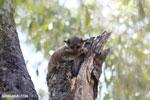 Milne-Edwards' Sportive Lemur (Lepilemur edwardsi) [madagascar_ankarafantsika_0206]