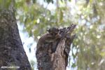 Milne-Edwards' Lepilemur (Lepilemur edwardsi) [madagascar_ankarafantsika_0207]