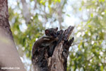 Milne-Edwards' Lepilemur (Lepilemur edwardsi) [madagascar_ankarafantsika_0209]